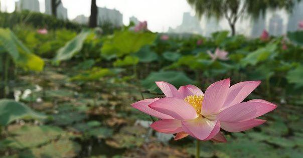 fiore aperto colore rosa in campagna